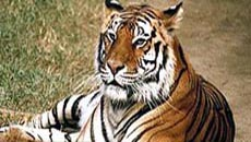 Tiger, Tour Package Taj Mahal Tiger